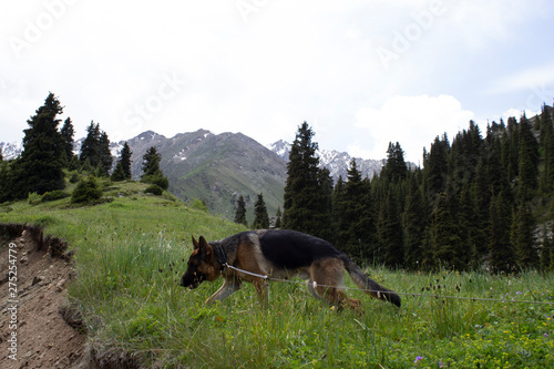 German shepherd has a great time in the mountains and breathes fresh air