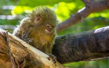 A Pygmy Marmoset, Cebuella Pygmaea, On A Tree Branch