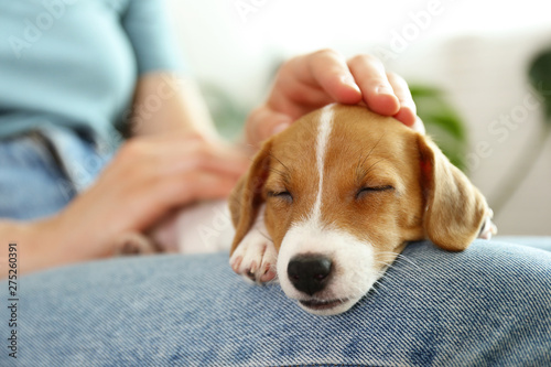 The cuttest two months old Jack Russel terrier puppy named Maisie sleeping on woman's lap. Small adorable doggy with funny fur stains lying with owner. Close up, copy space, isolated background. © Evrymmnt