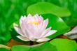 Closeup Pink lotus flower and Green lotus leaf In the water.