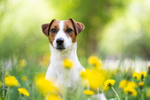 Obraz Dog portrait in a flower meadow. Cute Jack Russell Terrier old is sitting in a blooming meadow - fototapety do salonu