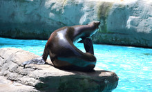 California Sea Lion Taking A Sun Bath