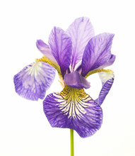 Bright Violet-yellow Iris, Flower On White Background