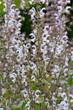 canvas print picture - Muskatellersalbei, Salvia, sclarea