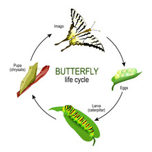 Butterfly Life Cycle From Eggs...