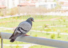 Gray Pigeon Watching The Park ...
