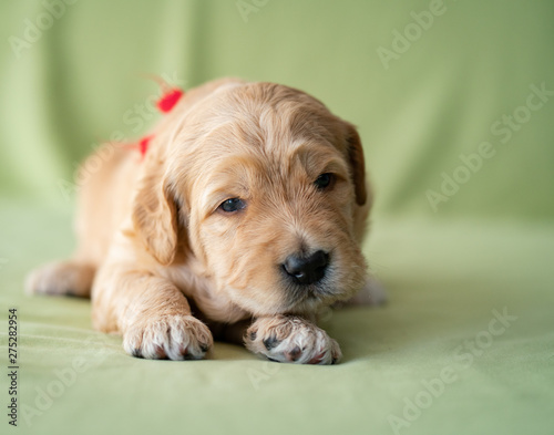 Vászonkép Adorable newborn golden doodle puppy laying on a lime green background