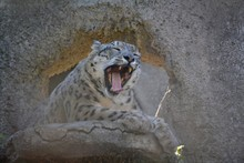 Sweet Yawning Snow Leopard On ...