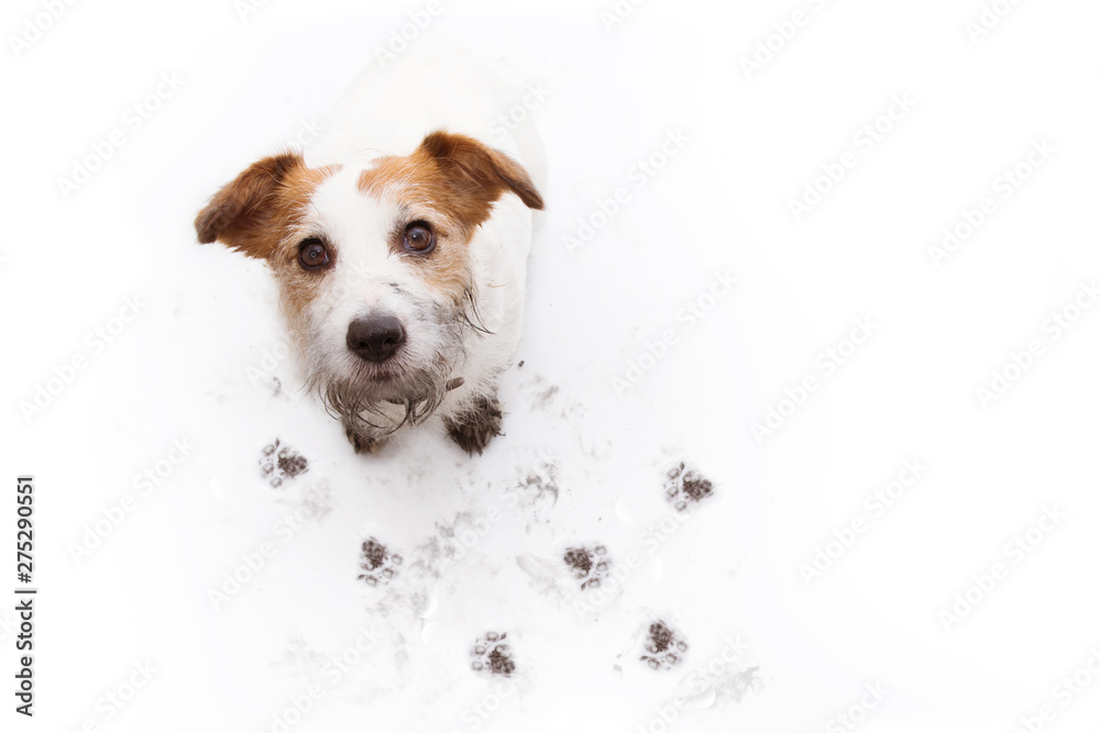 Fototapety, obrazy: ISOLATED DIRTY JACK RUSSELL DOG, AFTER PLAY IN A MUD PUDDLE WITH PAW PRINTS  AGAINST  WHITE BACKGROUND. HIGH ANGLE VIEW.