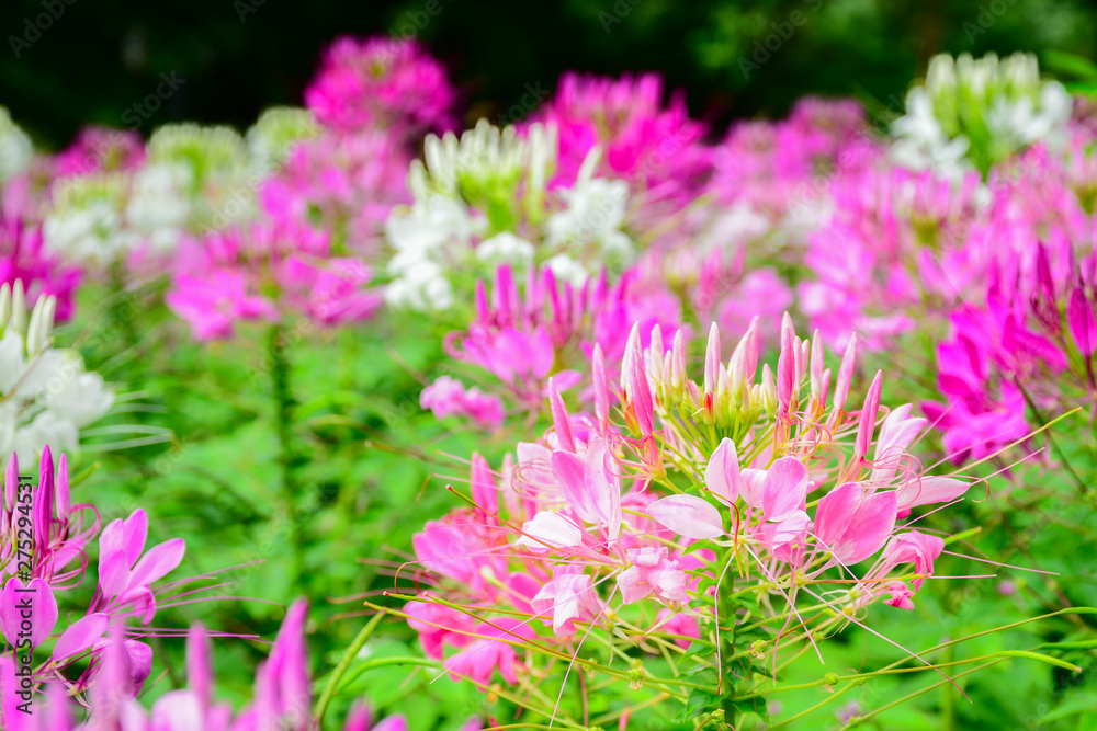 Cleome Flower in the garden by Selective Focus and blurry behind for the background-11