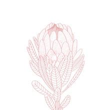 Illustration Of A Protea Flowe...