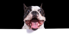 Funny Face Of French Bulldog W...