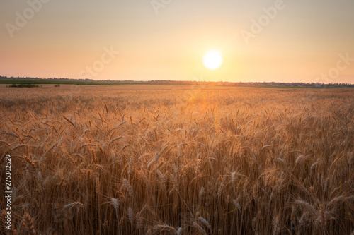 Foto auf Gartenposter Landschappen Beautiful dusk rural landscape. Wheat field against sunset sky.