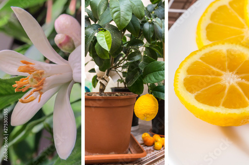 Illustration of the practice of growing citrus plants in greenhouses. Volkamer lemon flowering, fruit ripening and sliced orange-yellow lemon. Indoor citrus tree growing. Selective focus