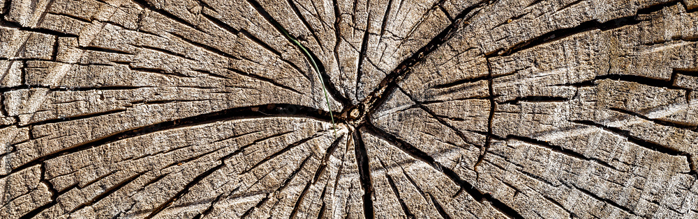 Fototapety, obrazy: old wood texture of tree stump, panoramic banner