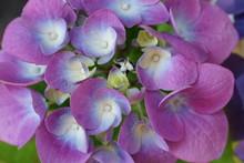 Blue And Purple Hydrangea Flowers