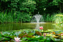 Beautiful Garden Pond With Amazing Pink Water Lilies Or Lotus Flowers Perry's Orange Sunset. Nymphaea Are Bloom Among Leaves On Blurred Fountain Background. Selective Focus On Nymphaea