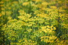 Green Dill Plants Growing In G...