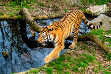 Tiger Walking In The Water