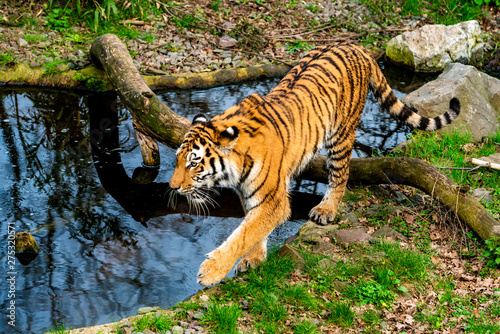 Stickers pour porte Fleur tiger walking in the water