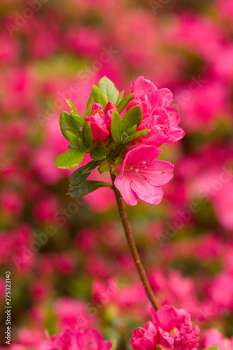 Foto op Canvas Candy roze Close up on the beautiful Azalea (Rhododendron) Kiusianum Rauschenstein at the Botanical Garden Berlin-Dahlem, Germany