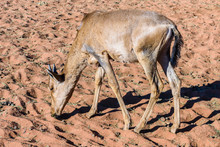 Young Hartebeest Foraging For ...