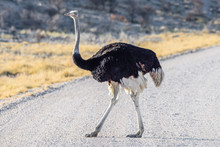 An Adult Ostrich Walks Across A Road In Namibia