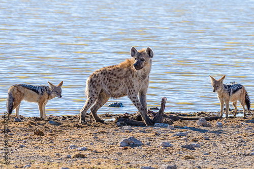 Tablou Canvas Black-backed jackals steal meat from a pair of spotted hyenas which have just killed a large male kudu