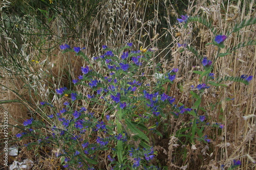 Fototapety, obrazy: Blaue Wildblumen auf Sizilien