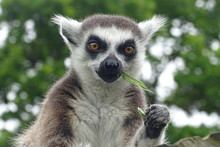 Cheeky Ring-tailed Lemur Eatin...