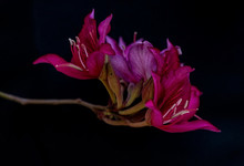 Spring Pink And Purple Colored Flower On A Black Background, Macro , Close Up