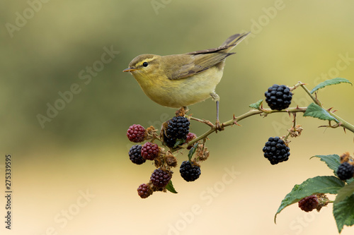 Phylloscopus trochilus, Willow Warbler perched on a branch Wallpaper Mural