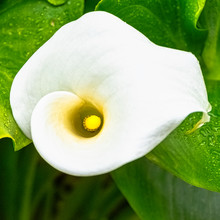 Zantedeschia Aethiopica Also Known As Calla Lily And Arum Lily Is A Species In The Family Araceae - Dinard, France