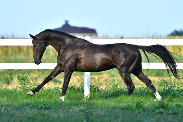 Dark bay Akhal Teke stallion running in fast gallop along white fence in summer paddock.In motion, side view.