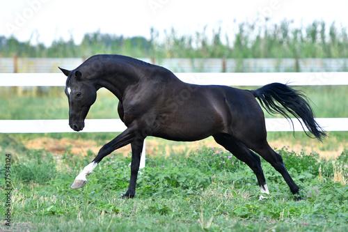 Fototapeta Black Akhal Teke stallion running in fast gallop along white fence in summer paddock.In motion, side view. obraz