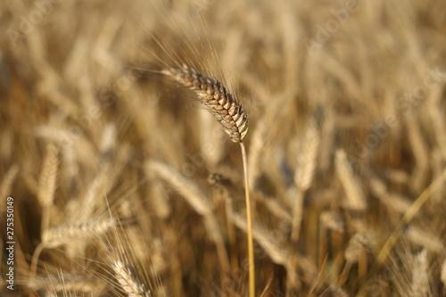 Obraz na plátně field of wheat