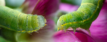 Caterpillar Of Green Veined White Butterfly Macro Photo