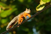 Variegated Squirrel - Sciurus ...