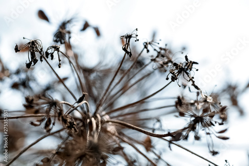 Valokuva  dry Apiaceae  or Umbelliferae family plant macro shallow focus against sky beaut