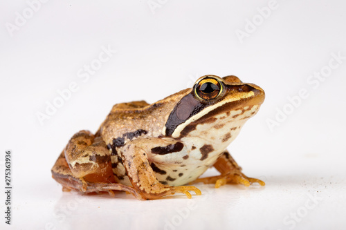 Small frog on a white table in a photo studio Wallpaper Mural
