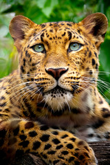 Fototapeta Zwierzęta This close up portrait of an endangered Amur Leopard was shot at a local zoo in a light overcast condition at an after hours event. Normally, this cat is hard to shoot as it is nocturnal an sleeping