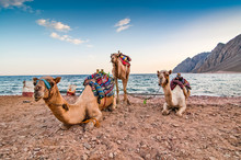Camels Resting On The Shore Of...