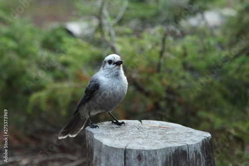 Gray Jay (Perisoreus canadensis) on a stump in Yellowstone National Park, Wyoming