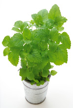 Lemon Balm In A Pot, (Melissa Officinalis) Herb On White Background