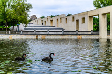 Black Swan On The Lake In Chan...