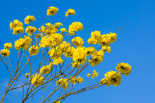 Yellow Tabebuia Flowers Blossom On The Blue Sky Background