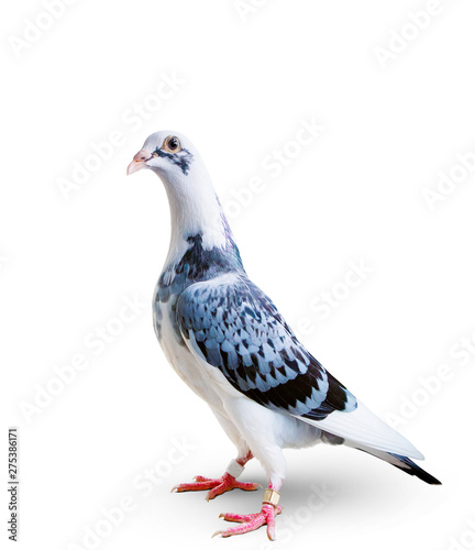 Poster Individuel full body of speed racing pigeon standing on white background