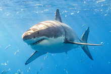 Great White Shark In Guadalupe...