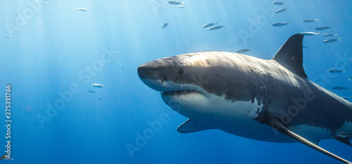 Fotografía  Great White Shark in Guadalupe Mexico