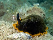 Sea Slug Marbeled Doris - Dend...